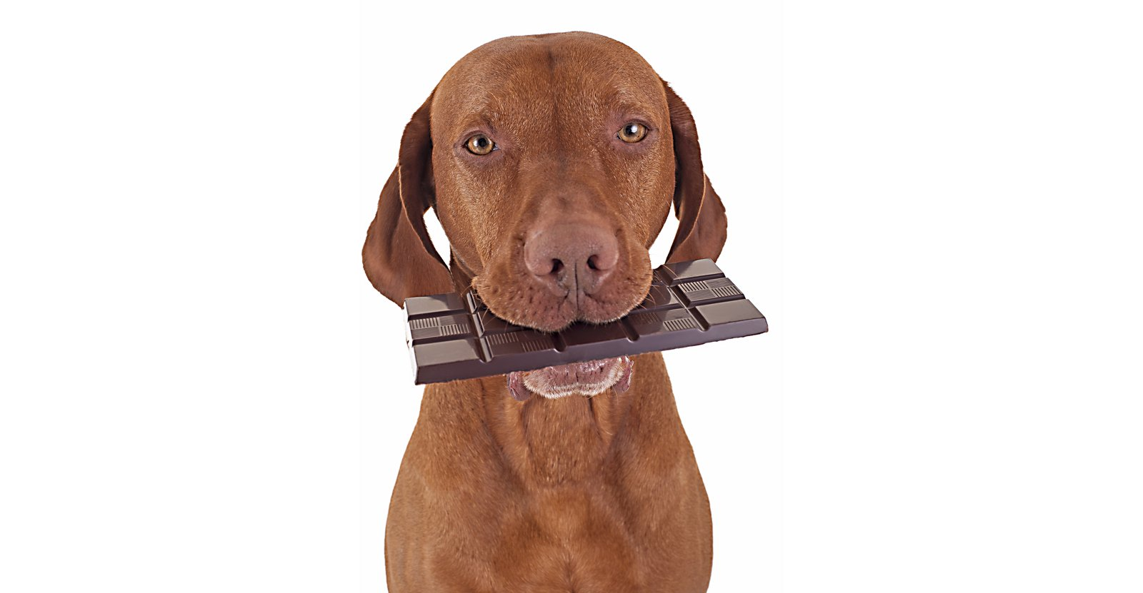 Dog with chocolate bar